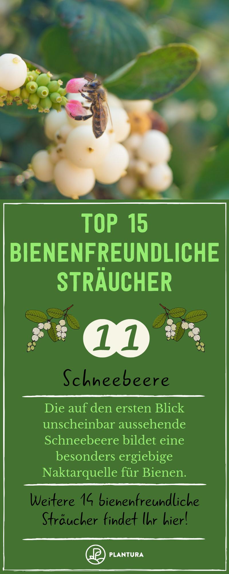 Bienenfreundliche Straucher Top 15 Bienenstraucher Bienenfreundliche Straucher Bienenfreundliche Pflanzen Schneebeere