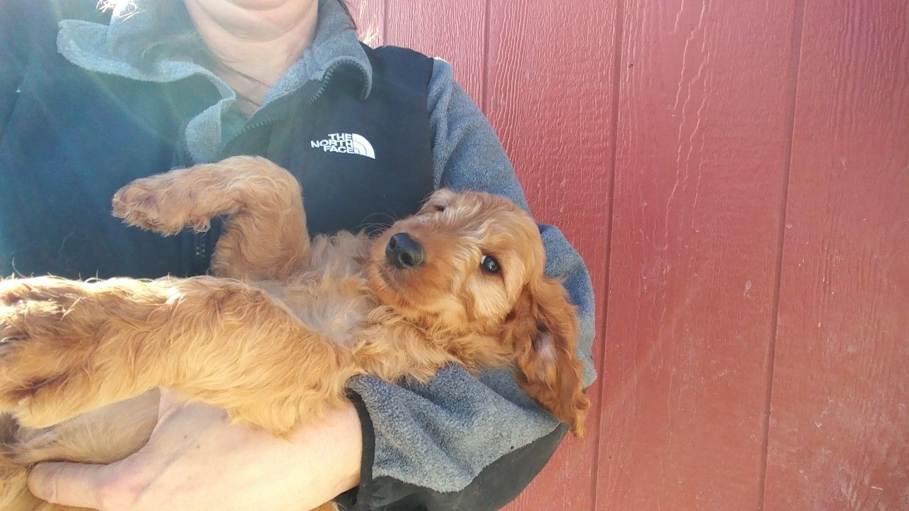 Take me home! Irish doodle boy puppy in search of his