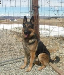 Adopt Rambo On German Shepherd Dogs Shepherd Dog Dogs