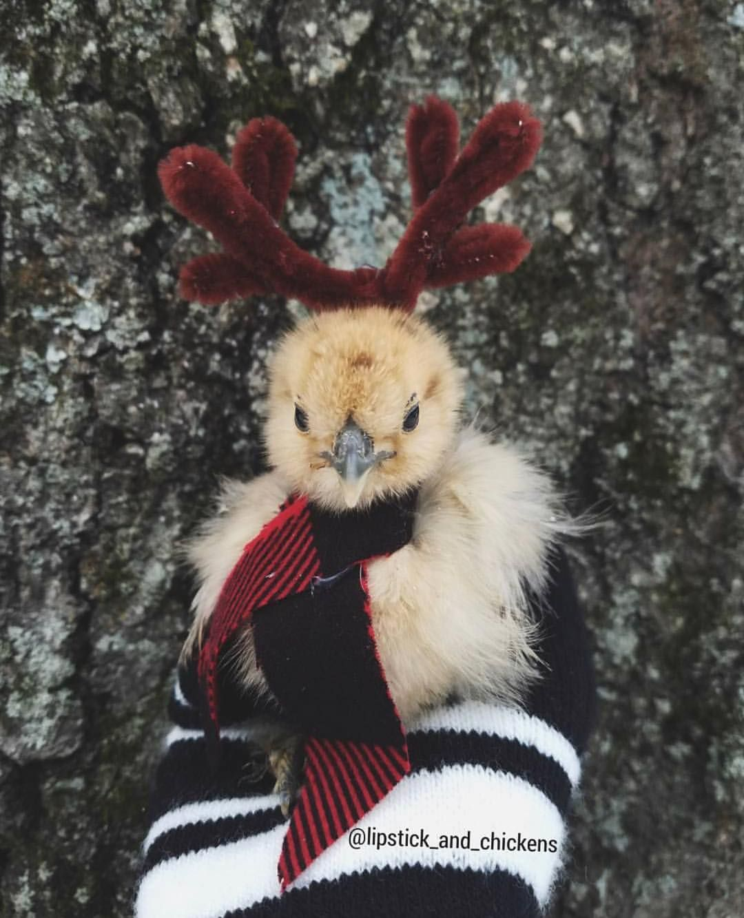 Coop Crate Instagram Chicken Christmas Photo By Jenny