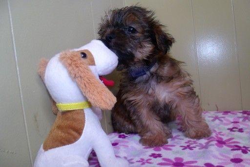 Shorkie Tzu puppy for sale in PATERSON, NJ. ADN36529 on
