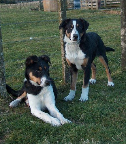 New Zealand Heading Dogs Dog Breeds Beautiful Dogs Cute Animals