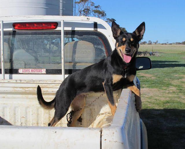 Photos From Western Australia Aussie Dogs Australian Kelpie
