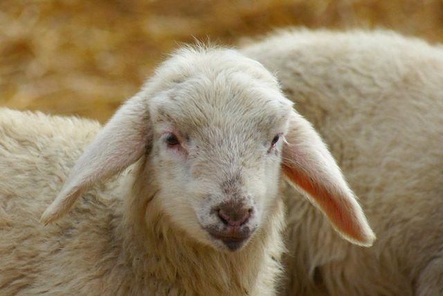 Photo of Wall paper »Kattobello: White Lambs«