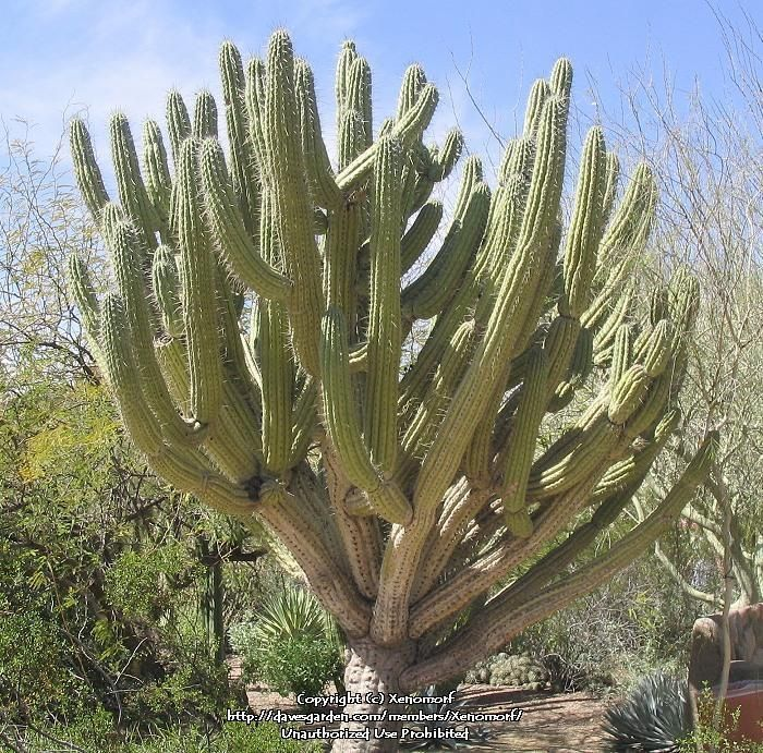 Full size picture of toothpick cactus argentine toothpick for Cactus argentina