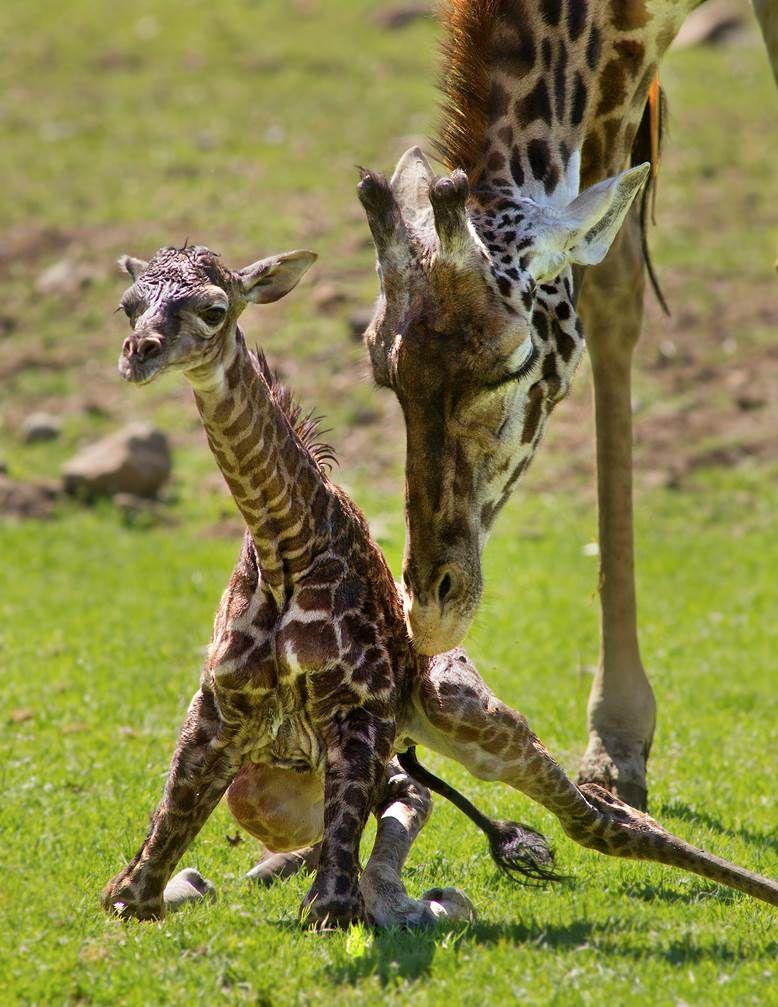 Masai Giraffe Calf Tumbles Into The World Zooborns Giraffe Animals Beautiful Masai Giraffe
