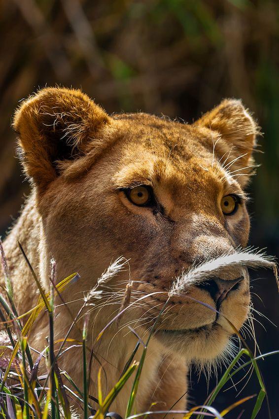 Lioness at Taronga Zoo Sydney, Australia Lioness, Animals