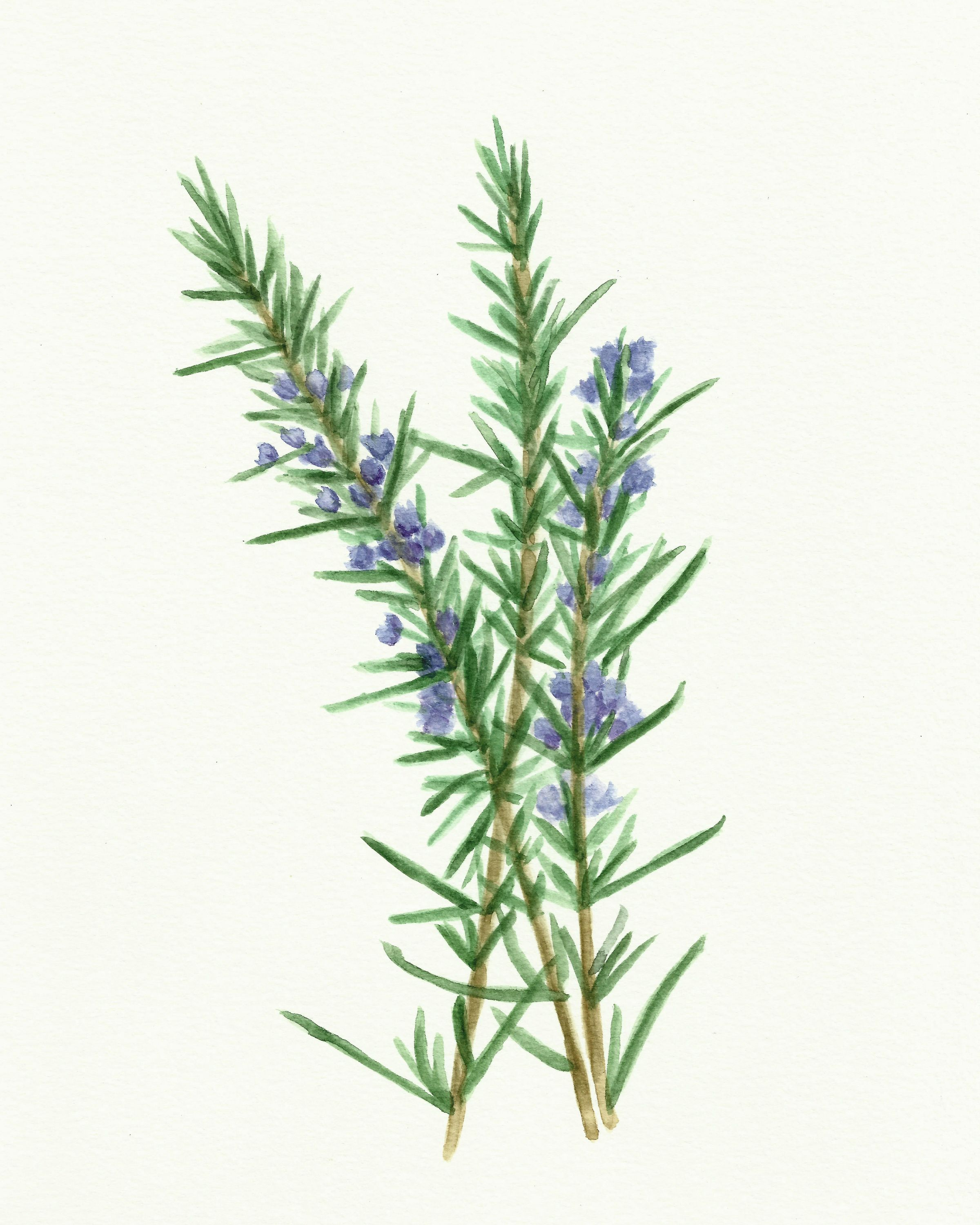 Free Herb Watercolor Printables Rosemary And Oregano Modern