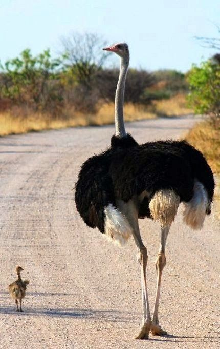 Father Ostrich With Son