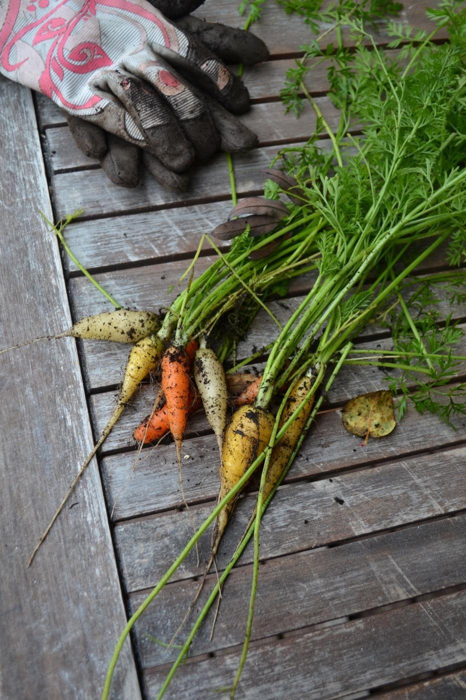 Puutarhan porkkana satoa