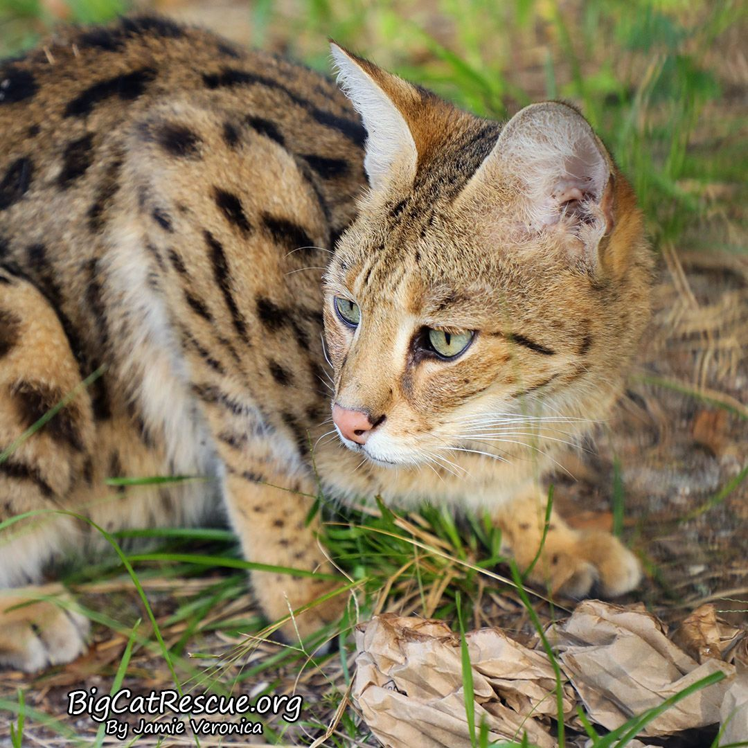 Mouser Savannah checking out his neighbors! Big cat