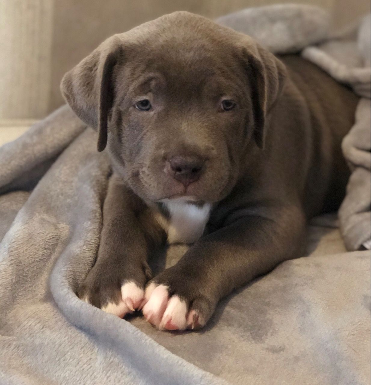 63 Blue American Bully Puppies In 2020 American Bully American