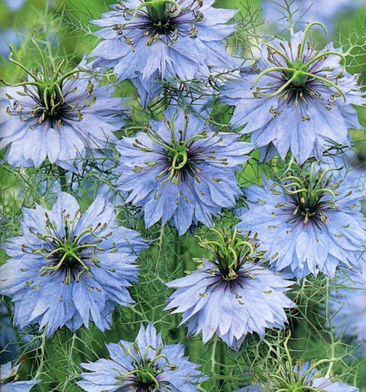 Love In A Mist Flower Seeds Annual Flowers Flower Garden