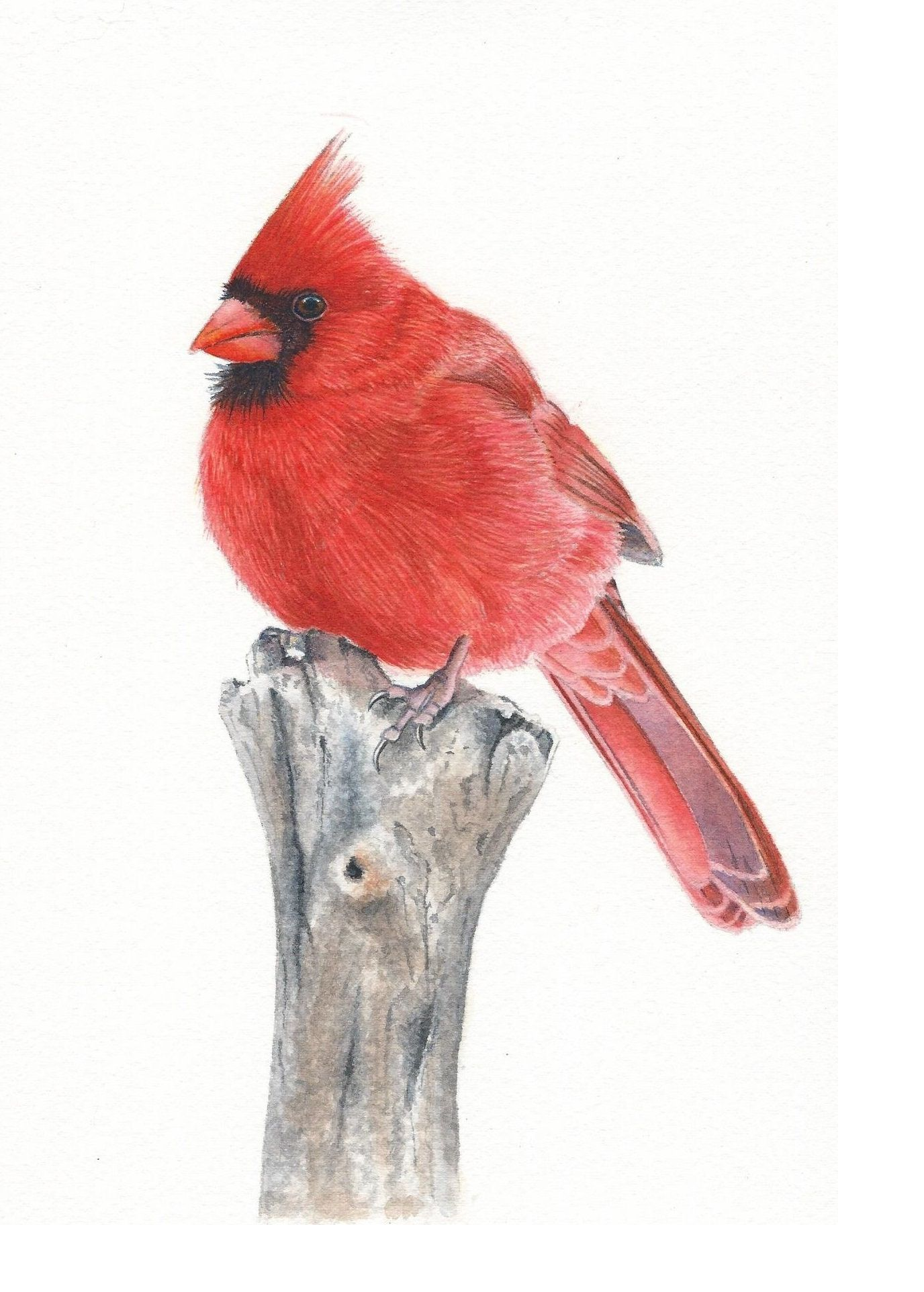 How To Paint A Cardinal In Watercolor Watercolors With Rebecca