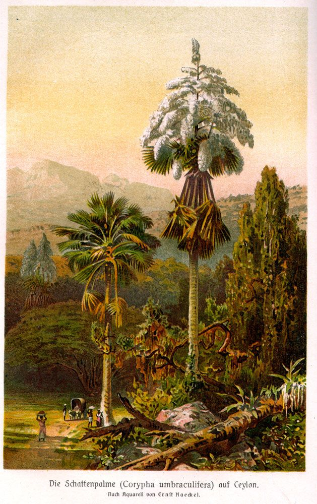 The Talipot palm flowers only once in its lifetime, producing the biggest inflorescence in the flowering kingdom. The palm grows for 30 to 80 years, storing up energy and strength in its trunk to send out this massive inflorescence. After flowering and fruiting the plant will die.