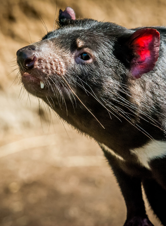 Jake the Tasmanian devil by Craig Chaddock - Fun fact: The Tasmanian devil is the world's largest carnivorous marsupial.