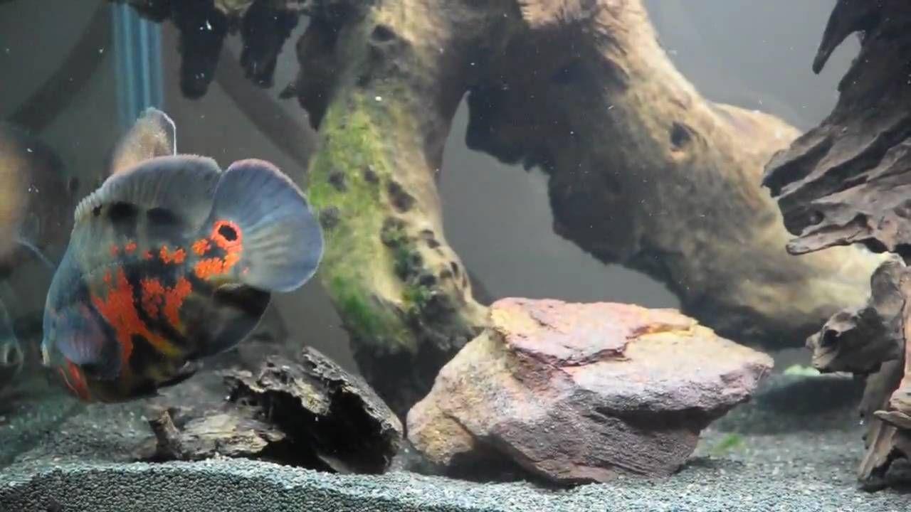 Fish aquarium on youtube - Oscar Fish In 500 Litre Aquarium Youtube