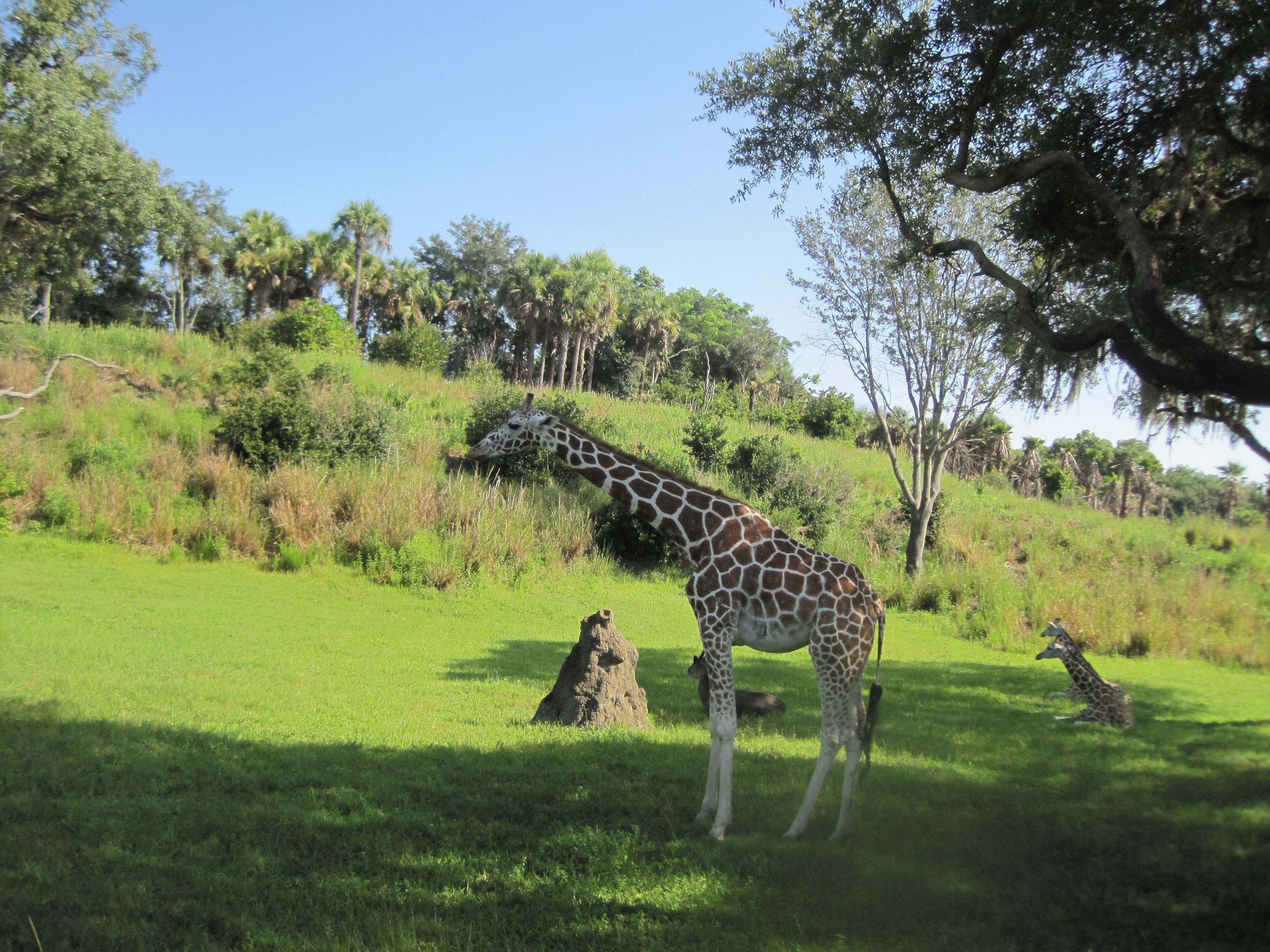 Safari ride at Disney World. sooo cool!