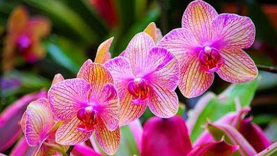 Cara Merawat Dan Macam Macam Bunga Anggrek Anggrek Langka