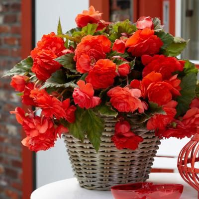 Begonia Golden Balcony Begonia Care Tips Https Www Houseplant411 Com Houseplant Begonia Plant How To Grow Ca Container Flowers Planting Flowers Flower Pots