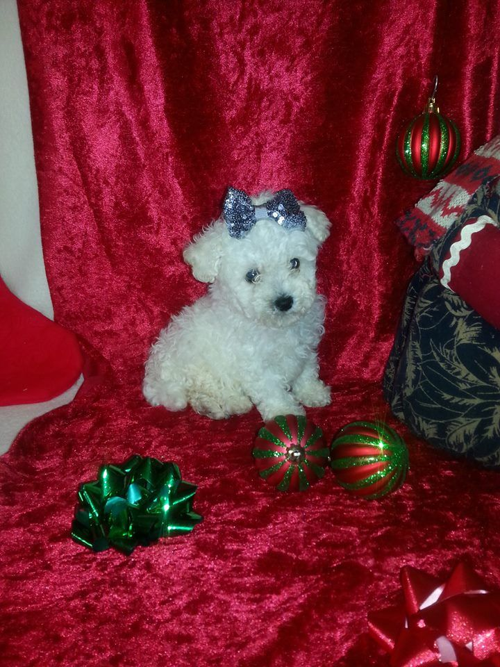 Maltipoo puppy for sale in Texas Maltipoo puppies for
