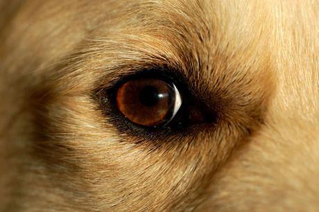 Closeup Golden Retriever Dog Eye Picture Golden Retriever Eyes