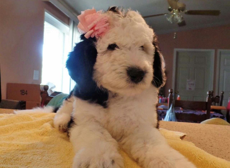 Beautiful sheepadoodle puppy sheepadoodle puppy