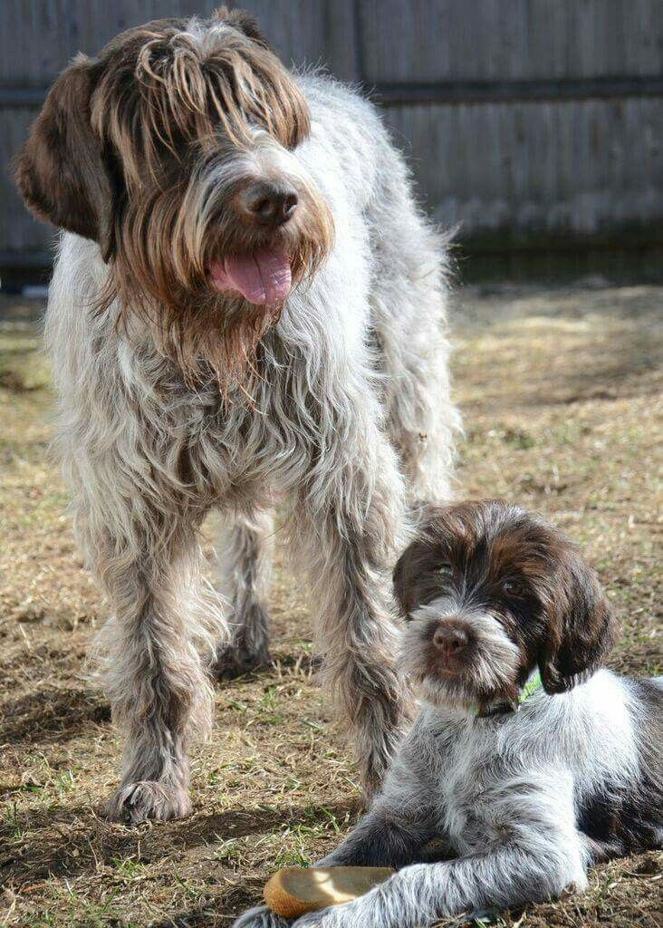 Wire Haired Pointing Griffon Wirehaired Pointing Griffon