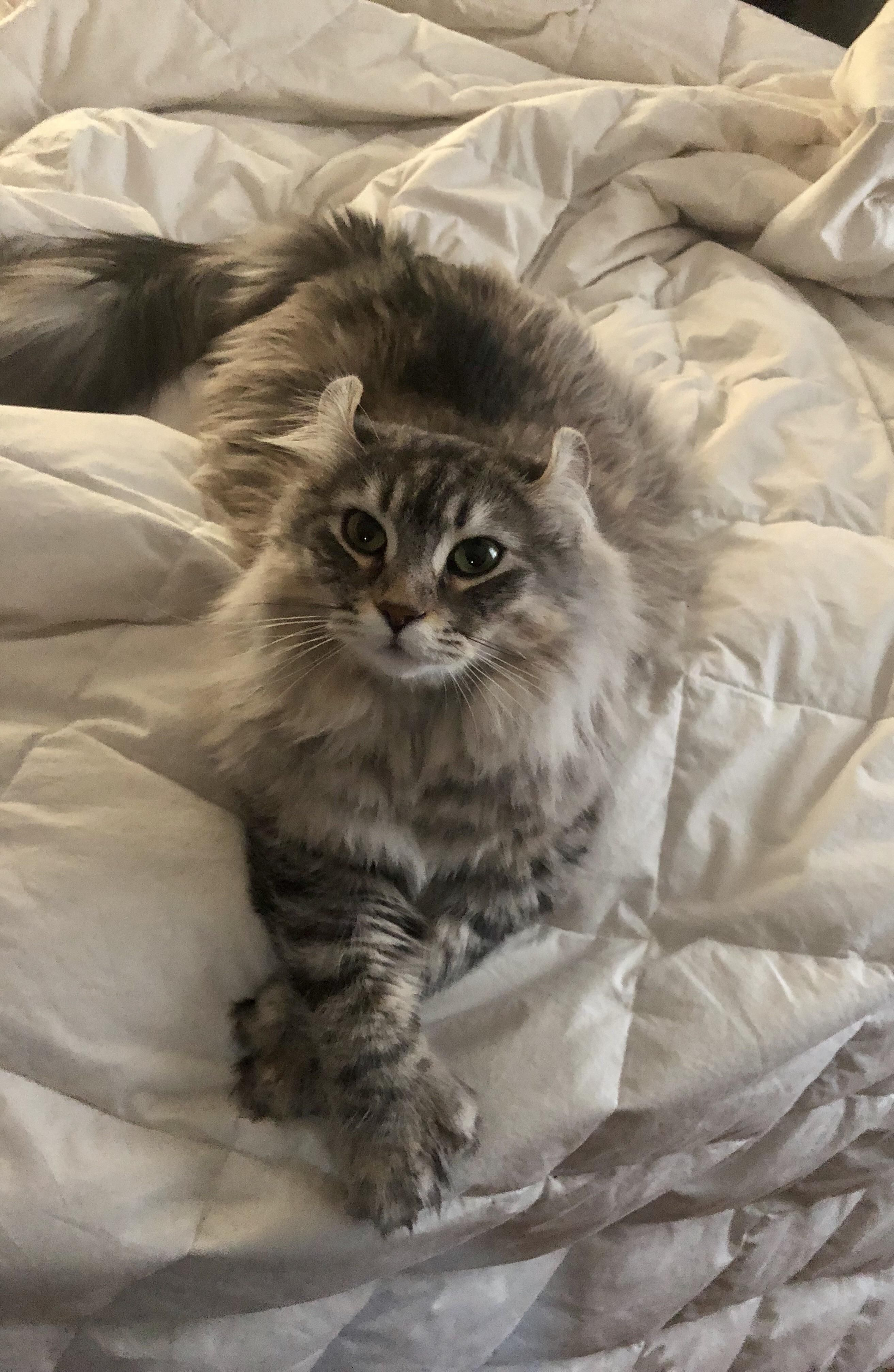 Fluffy beauty chilling on bed 😊 fluffycat beautifulcat