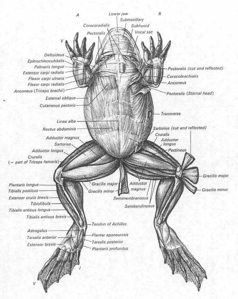 Frog Muscles Labeled Animal Anatomy Pinterest Frogs Animal