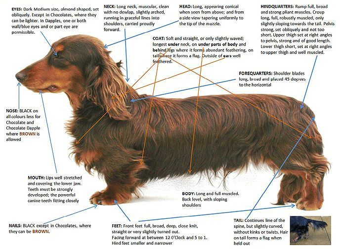 Dachshund Long Haired Shedding Long Haired Miniature Dachshund