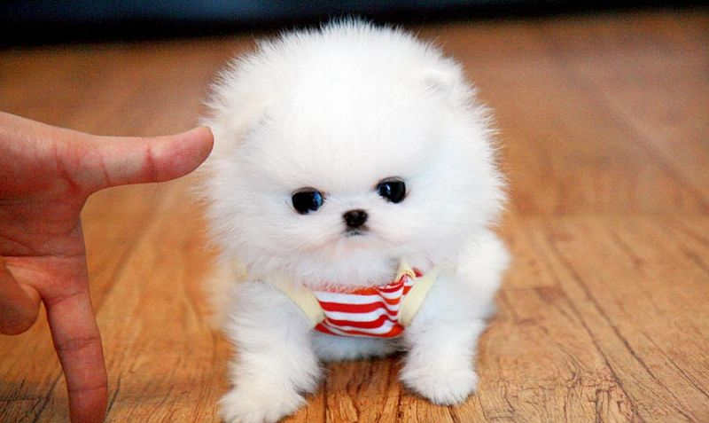 37e2d62258d Scotchi, it's a tea cup dog | wannnnnt:) | Cute dogs, Teacup puppies ...