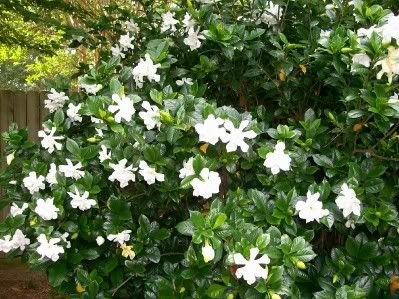 Gardenia I Had These Outside My Front Door At My Old House When