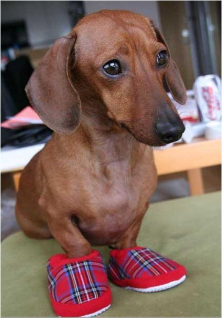 Wiener Dog In Slippers Omg I Need These For Brody Weenie
