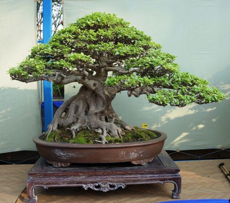 The Grand Indonesian Bonsai And Suiseki Exhibition Indoor Bonsai Tree Bonsai Ficus Ficus