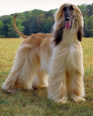 Beautiful Blonde Afghan Hound With Windswept Hair She Could Be