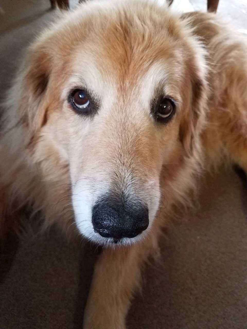 This Is Dorothy A Senior Golden Mix She Survived A Tornado In Tx