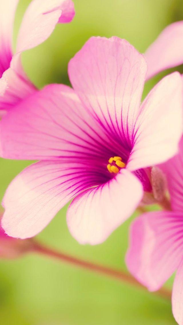 Sunshine Pink Bloom #iPhone #5s #Wallpaper