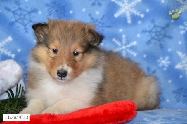 Collie Puppy For Sale Collie Puppies For Sale Collie Puppies