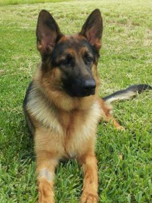 Trained Protection Dogs For Sale Dogs For Sale Dogs