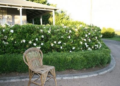 August Beauty Gardenia Shrub With Images August Beauty
