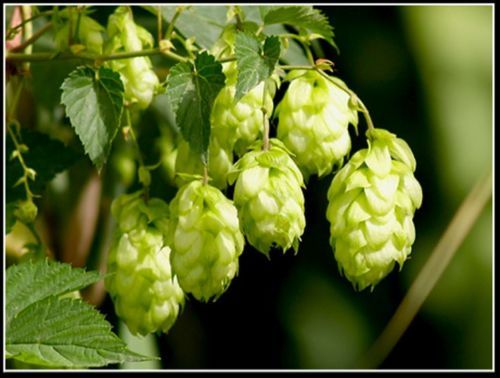 JAPANESE-HOP-Humulus-Japonicus-18-SEEDS-VINE-FLOWER-UP-TO-20-FEET