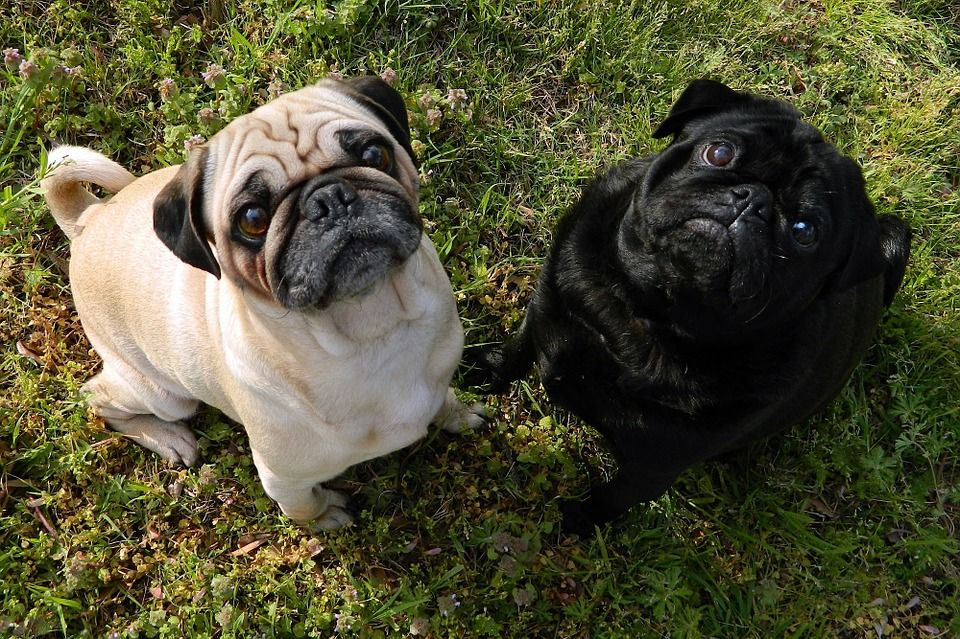 Degenerative Myelopathy Dogs Have New Options And Diet Cute Pug