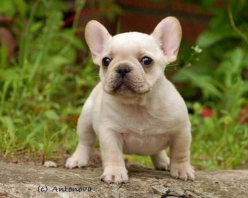 So Cute French Bulldog Puppies Cute Tiny Dogs French Bulldog