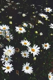Daisy Wallpaper Flower Phone Hipster Backgrounds Ipod Quotes Tumblr Flowers