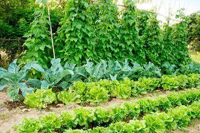 Klatrende grøntsager og frugtbuske er uundværlige i enhver ...