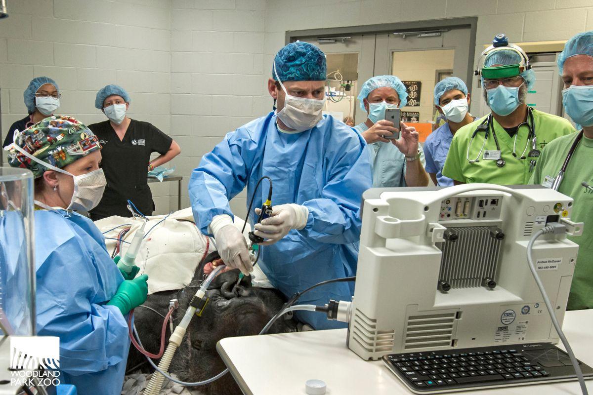 Seattle Team Performs Life Saving Surgery On Woodland Park Gorilla A Team Of Human Medical Specialists Joined Woodland Pa Gorilla Names Gorilla Woodland Park
