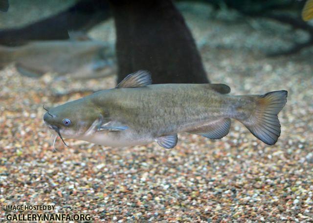 White Catfish Ameiurus Catus