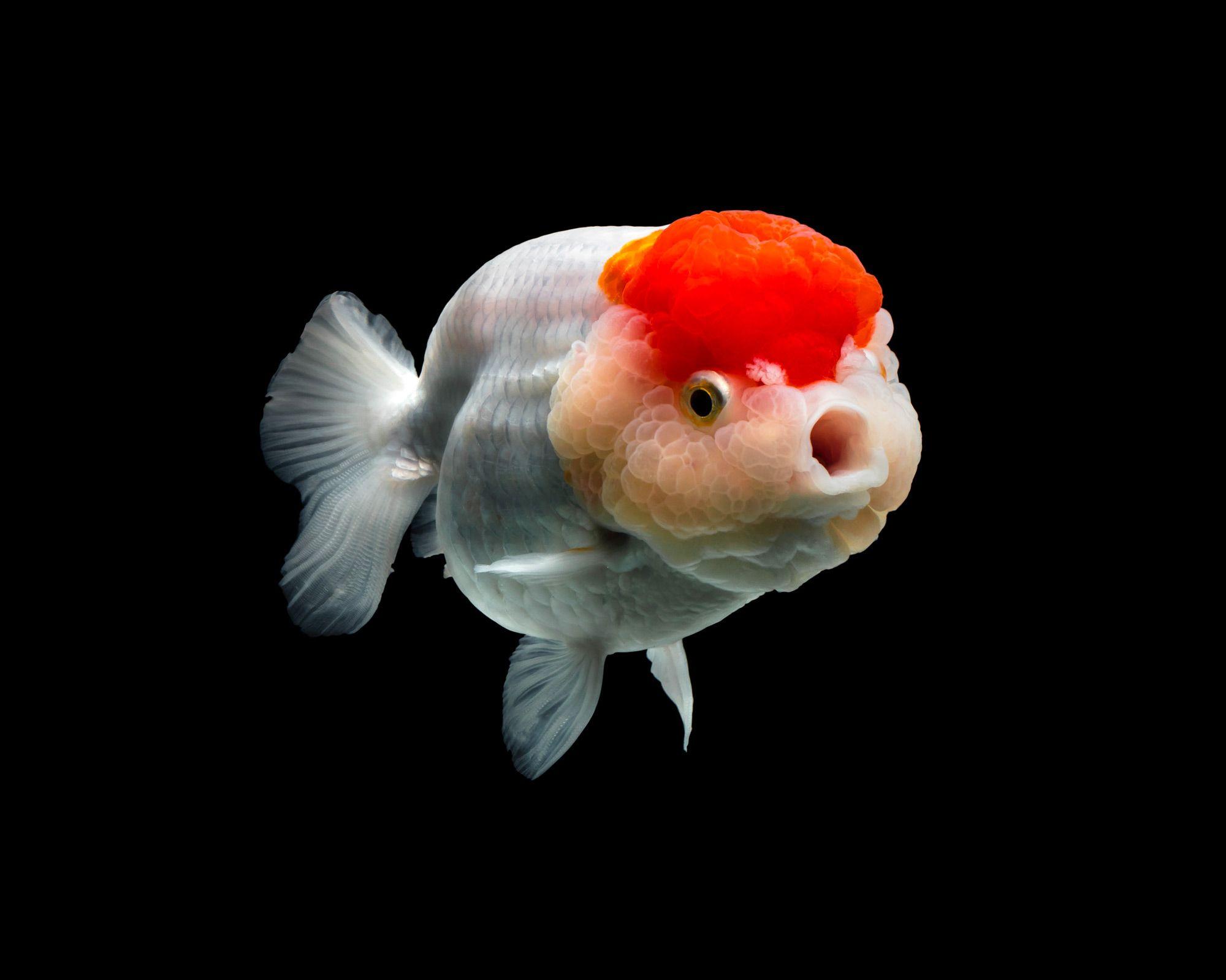Richly Hued Portraits Of Elegant Chinese Goldfish By Tsubaki Colossal Goldfish Goldfish Art Animals