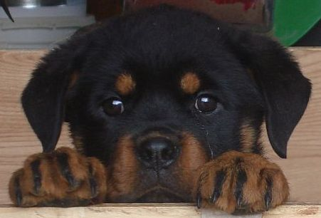 Dogs Produced Rottweiler Puppies Puppies Rottweiler Dog